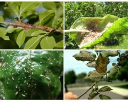 How to get rid of aphids in the trees
