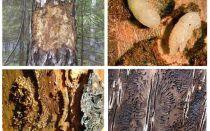 How to deal with bark beetle in a wooden house