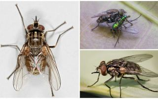 Description and photo of the fly fly zhigalki