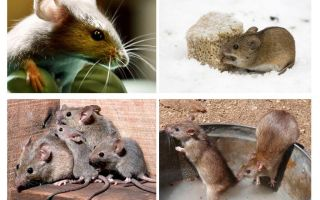 Interesting facts about mice