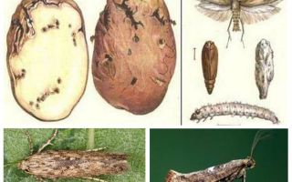 Potato moth - storage control measures
