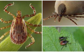 Tick-like beetles