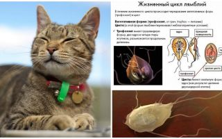 Symptoms and treatment of Giardia in cats