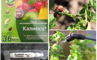 Calypso remedy for the Colorado potato beetle