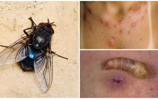 A fly that lays larvae under human skin