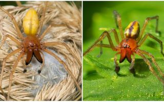 Description and photo of the spider Sak (Heiracantium)