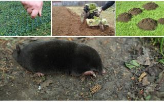 How to scare away moles from the dacha or garden