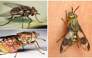 Varieties of flies with photos and descriptions