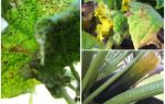 How to get rid of aphids on zucchini