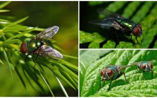 Description and photo of green carrion fly
