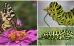 Description and photo of the caterpillar of the Machaon butterfly