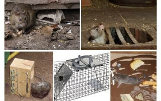 How to remove rats from the basement folk remedies