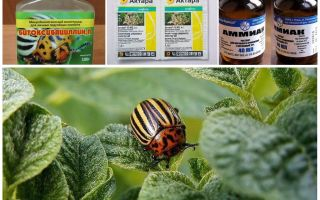 How to permanently get rid of the Colorado potato beetle on potatoes and how to poison it