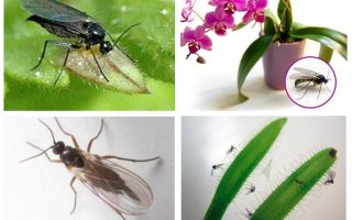 How to get rid of fungus mosquitoes (sciarid)