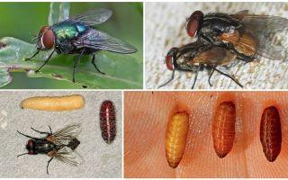 How flies appear
