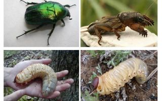 What is the difference between the larvae of the bear and the may beetle