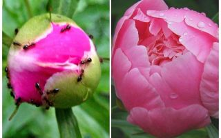 How to process peonies from ants, folk remedies