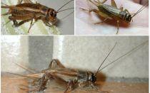 Description and photos of crickets