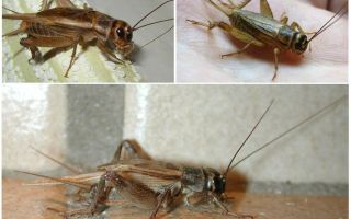 Description and photos of crickets