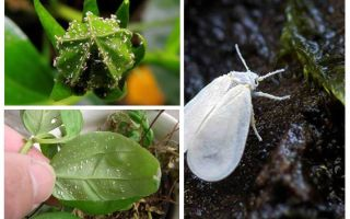 How to get rid of the whitefly on indoor flowers