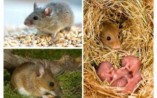 The lifespan of mice