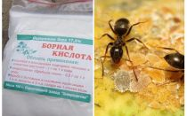 Boric acid against ants in the apartment and garden