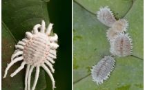 How to get rid of mealybug on indoor plants