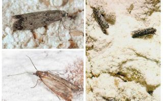 How to get rid of moth flour in the kitchen