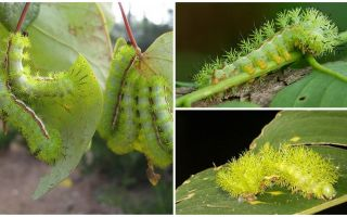 Description and photos of dangerous poisonous caterpillars