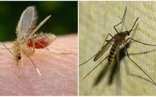 What is the difference between mosquitoes and mosquitoes?