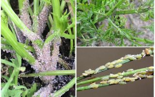 How to get rid of aphids on carrots