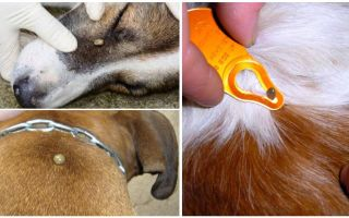 Tick bite in a dog - symptoms, effects and treatment at home