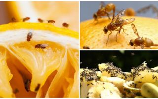 How to get rid of fruit flies in the kitchen store and folk remedies