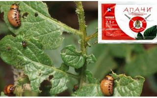 How to breed Apaches from the Colorado potato beetle