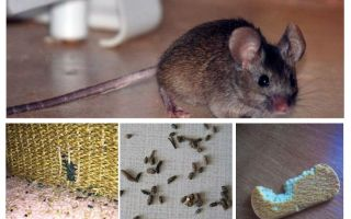 How to deal with mice in the apartment