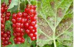 Gallic aphid currant