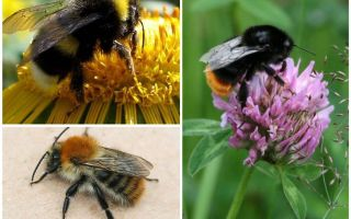What does a bumblebee look like?