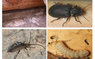 How to get rid of the beetle beetle