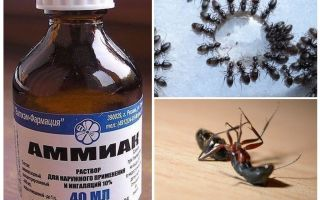 Ammonia from ants and aphids