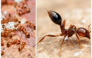 How to get rid of small red ants in an apartment