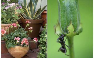 How to remove ants from a flower pot
