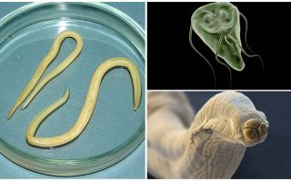 Comparison of Giardia and Worms