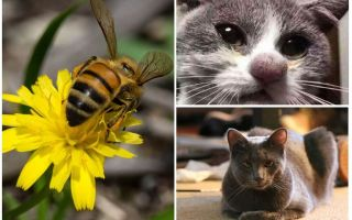 What to do if a cat is bitten by a bee