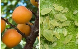 How to get rid of aphids on apricot