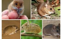 Kinds and types of mice