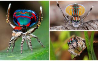 Description and photo of the peacock spider