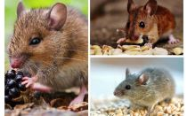 What mice eat
