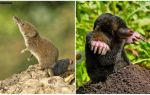 How to distinguish a shrew from a mole