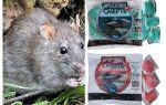 Poison rat death