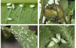 Methods of dealing with whitefly on tomatoes in the greenhouse